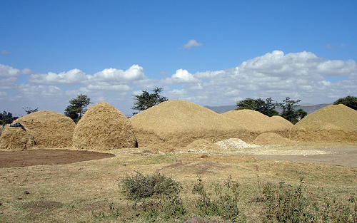 Stacks of teff near Addis Ababa. (Pic: Flickr / Carsten ten Brink)