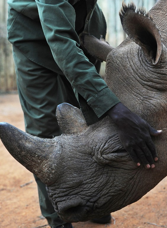 Alfie, a blind juvenille black rhinoceros, receives a pat from his minder on August 6 2014 at the Ol Jogi rhino sanctuary. (Pic: AFP)