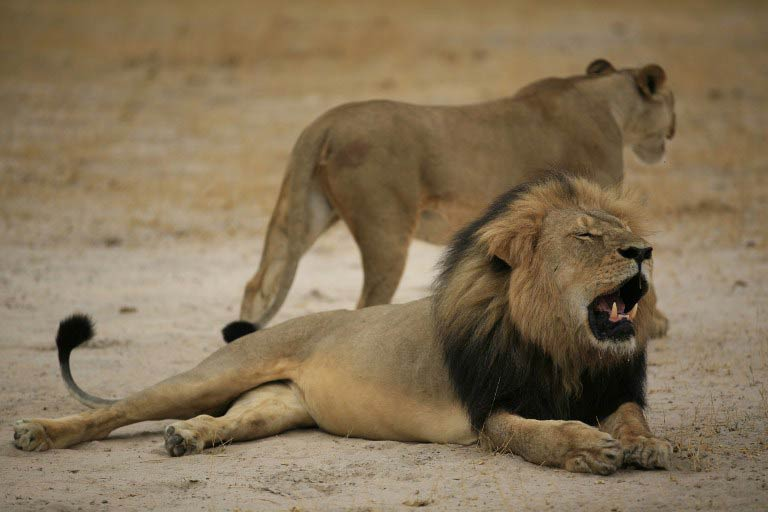 The lion named Cecil was a popular attraction among tourists in the Hwange National Park. (Pic: AFP)